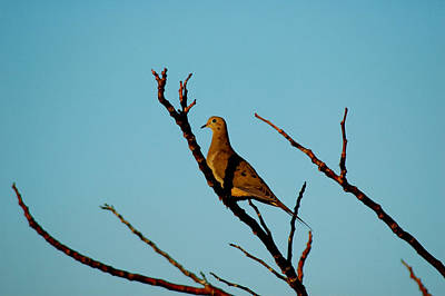 Photograph - And A Dove In A Tree by David Weeks