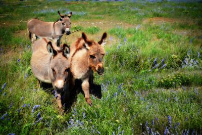 Miniature Donkey Photograph - And Baby Makes Three by Lynn Bauer