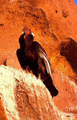 Condor Photograph - Andean Condor by Art Wolfe