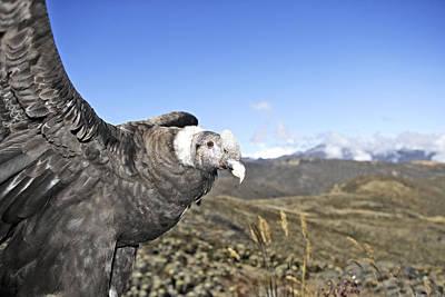 Condor Photograph - Andean Condor by M. Watson