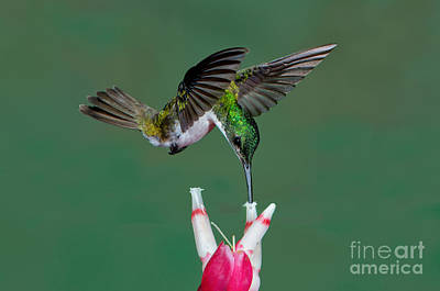 Photograph - Andean Emerald Hummingbird by Anthony Mercieca