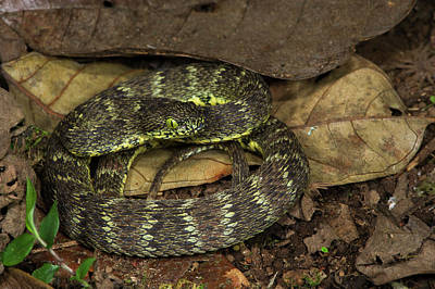 Andean Forest-pitviper(bothriopsis Print by Pete Oxford
