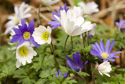 Photograph - Anemone Blanda by Spikey Mouse Photography