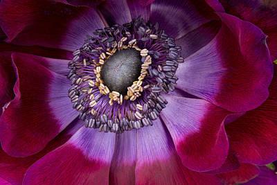 Anemone Coronaria  Macro Art Print by Ann Garrett