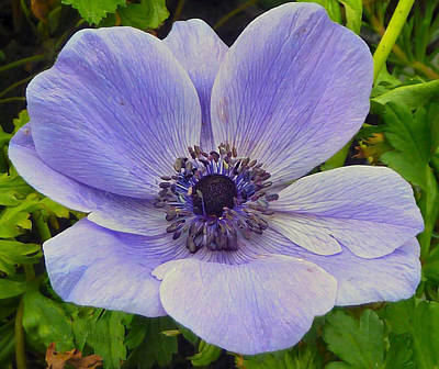Photograph - Anemone by Debra Collins