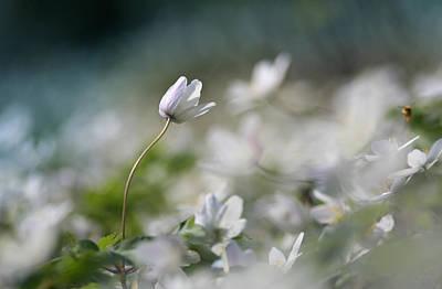 Photograph - Anemone Flower by Dreamland Media