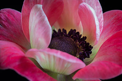 Photograph - Anemone In Fuchsia by Kim Aston
