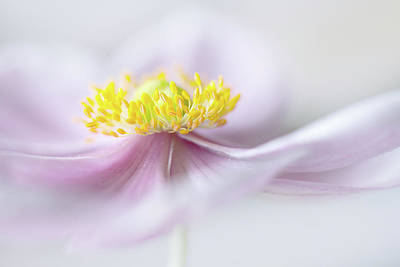 Floral Abstract Photograph - Anemone by Mandy Disher