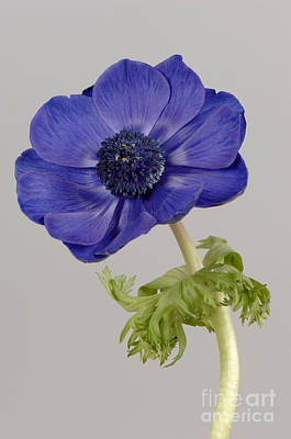 Photograph - Anemone by Nigel Cattlin