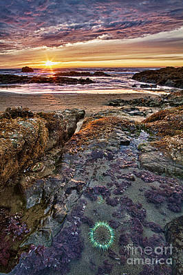Photograph - Anemone Sunset by Alice Cahill