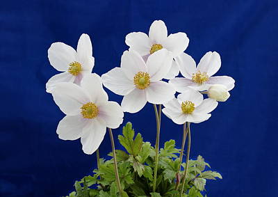 Photograph - Anemone Sylvestris by Paul Gulliver