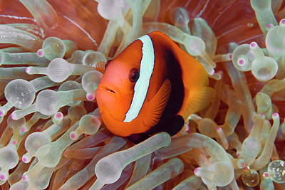 Anemonefish Among Poisonous Tentacles Art Print by Jaynes Gallery
