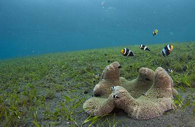 Anemonefish In Seagrass In Indonesia Art Print by Science Photo Library