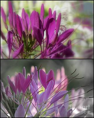 Photograph - Anemones Beauties 5 by France Laliberte