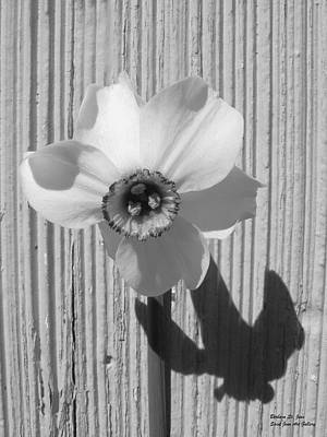 Photograph - Angel Eyes Narcissus by Barbara St Jean