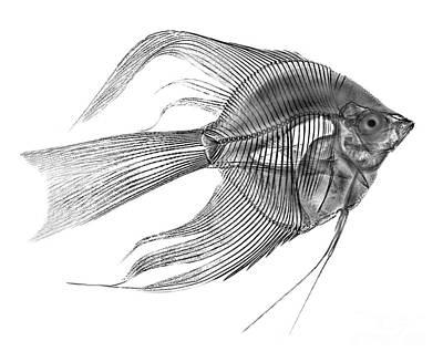 Angel Fish Photograph - Angel Fish X-ray by Bert Myers