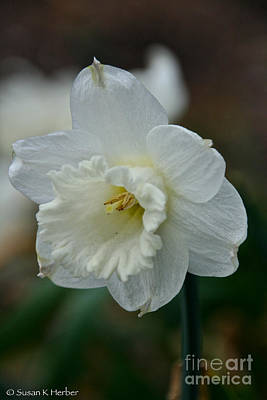 Photograph - Angel Narcissus by Susan Herber