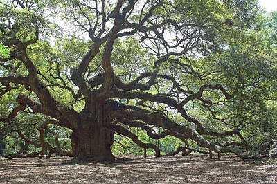 Angel Oak II Art Print by Suzanne Gaff