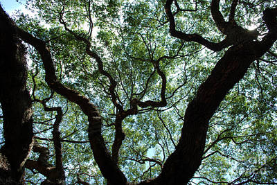 Charleston Photograph - Angel Oak Upward by Manda Renee
