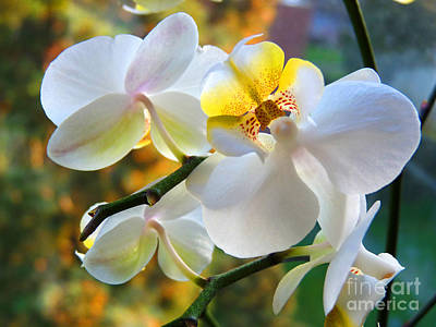 Photograph - Angel Orchids by Lance Sheridan-Peel