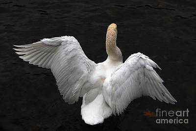 Photograph - Angel Swan by Staci Bigelow