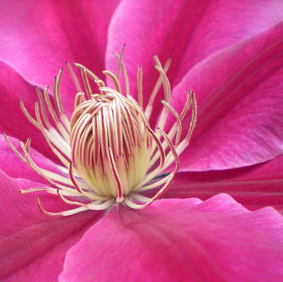 Photograph - Angela Clematis Macro Fine Art Print by Penny Hunt