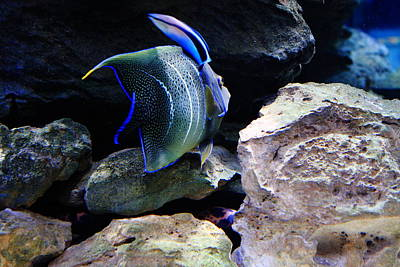 Photograph - Angelfish by Aidan Moran