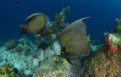 Photograph - Angelfish by J Gregory Sherman