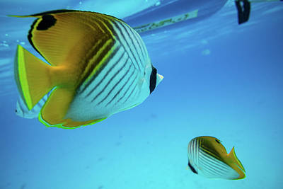 Angelfish Wall Art - Photograph - Angelfish Swimming Underwater, Tahiti by Animal Images