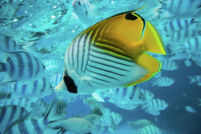 Angelfish Wall Art - Photograph - Angelfish With Other Fish Swimming by Animal Images
