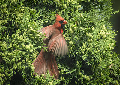 Photograph - Angelic Cardinal by Eric Miller