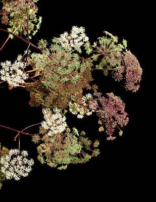 Angelica Archangelica Flowers Art Print by Gilles Mermet