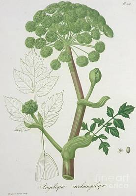 Angelica Archangelica From 'phytographie Medicale' By Joseph Roques  Art Print by L F J Hoquart