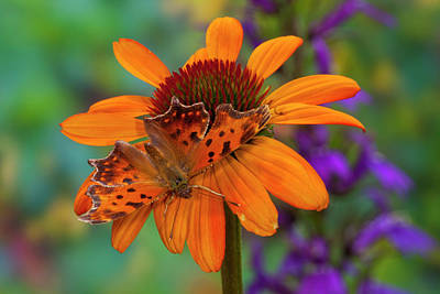 Angle Wing Butterfly On Cone Flower Art Print by Darrell Gulin