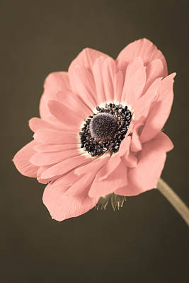 Travel Rights Managed Images - Angled Anemone Royalty-Free Image by Caitlyn  Grasso