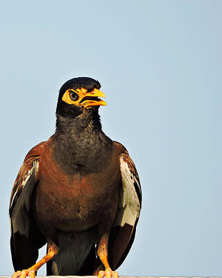 Photograph - Angry Bird 1 by Ayan Mukherjee