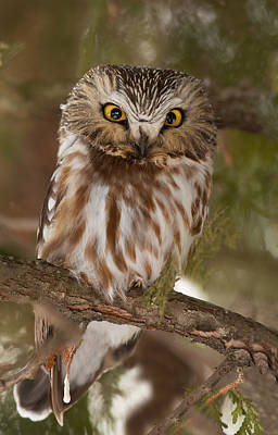 Northern Saw-whet Owl Photograph - Angry Bird by Mircea Costina Photography