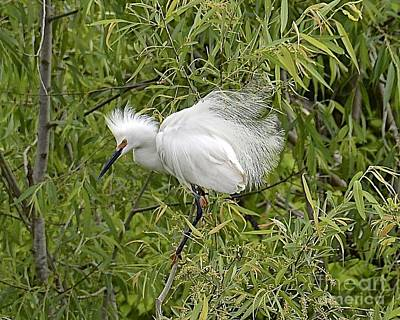 Photograph - Angry Egret by Carol  Bradley
