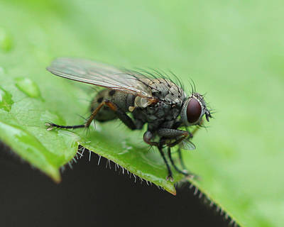 Photograph - Angry Fly by Bruce  Morrell