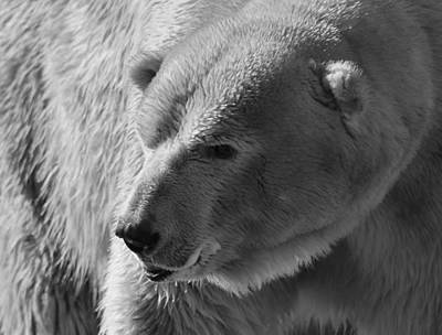 Photograph - Angry Polar Bear by Dan Sproul