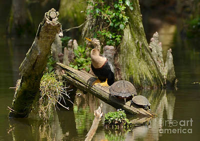 Photograph - Anhinga And Turtles In The Swamp by Kathy Baccari