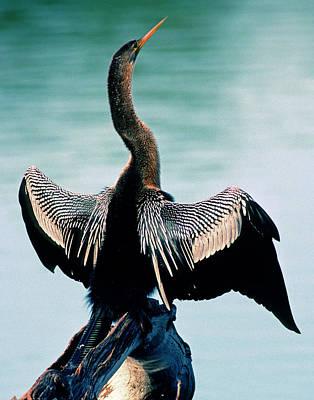 Photograph - Anhinga Anhinga Anhinga Drying Feathers by Millard H. Sharp