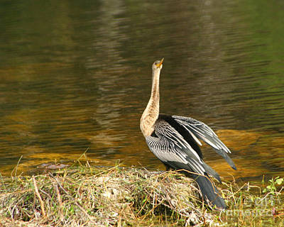 Photograph - Anhinga At Her Nest by Heidi Hermes