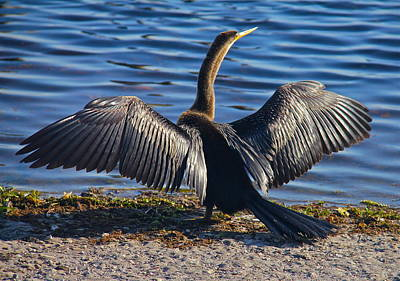Photograph - Anhinga Basking In The Sun by Denise Mazzocco