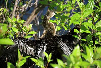 Anhinga Wall Art - Photograph - Anhinga by Bob Gibbons/science Photo Library