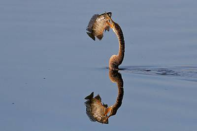 Photograph - Anhinga Captures Fish by Ira Runyan