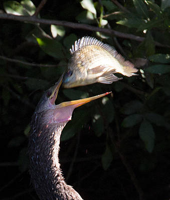 Photograph - Anhinga Catch by Richard Goldman