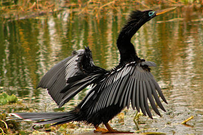 Photograph - Anhinga. by Chris  Kusik