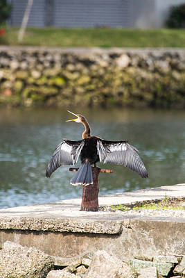 Photograph - Anhinga Drying Out by Terry Cotton