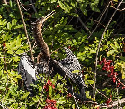 Photograph - Anhinga Drying Wings by Richard Goldman